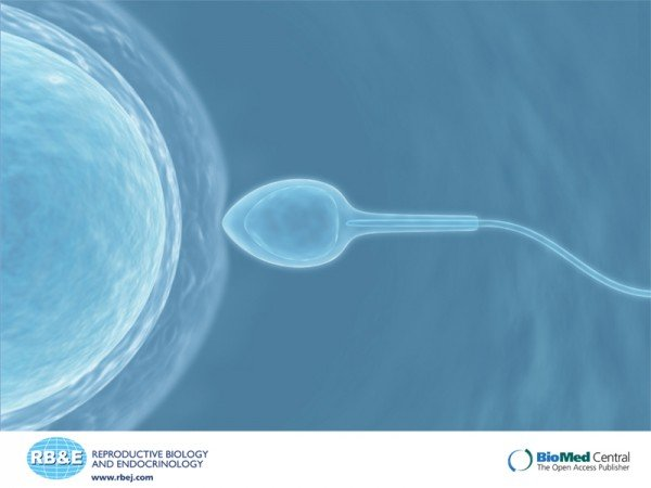 Communication between sperm and the egg during fertilisation