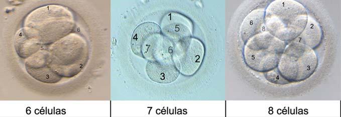 Día 3 de cultivo embrionario