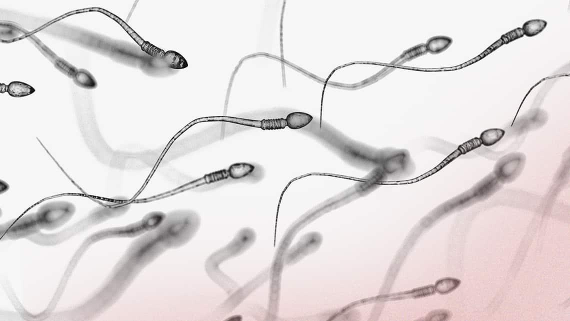 Was ist die Spermatogenese?