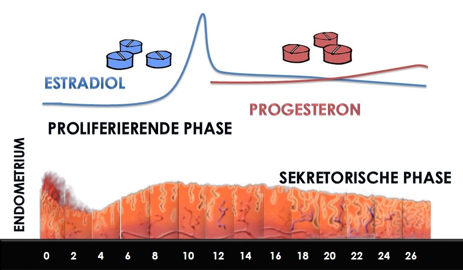 Das Progesteron und seine Rolle bei der Reproduktion - Instituto Bernabeu