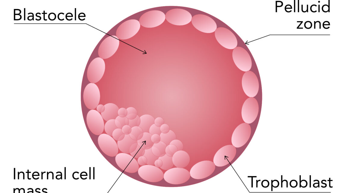 Blastocyst embryo: What it is, advantages, types and classification according to its quality