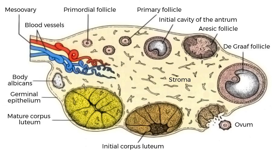 Ovarian cycle. Instituto Bernabeu