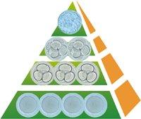 Embryon blastocyste. Transférer à J5, sélection naturelle
