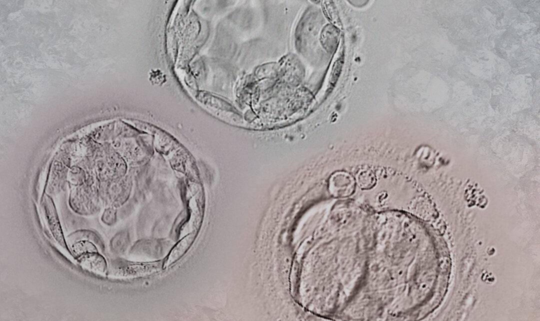Décongélation des embryons : Tout ce que vous devez savoir sur la dévitrification