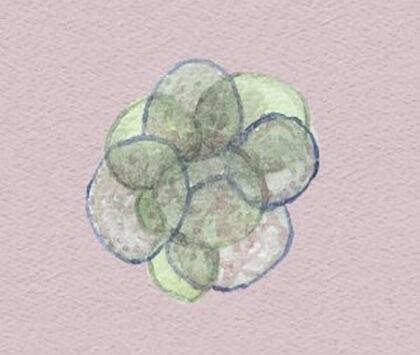 Schminken von Embryos