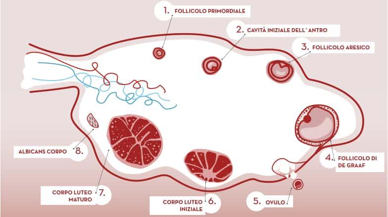 Il follicolo è una struttura anatomico-funzionale che fa parte dell'ovaia e l'ovocito è la cellula che maturerà in una parte microscopica della parete interna di un follicolo durante il ciclo ovarico spontaneo o stimolato in condizioni normali. Inoltre, il follicolo contiene un altro tipo di cellule che producono estrogeni necessari per lo sviluppo e la maturazione degli ovuli.